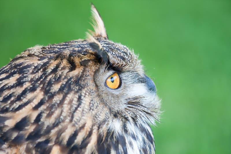 Download Great Horned Owl stock photo. Image of great, alert, bird - 25425442