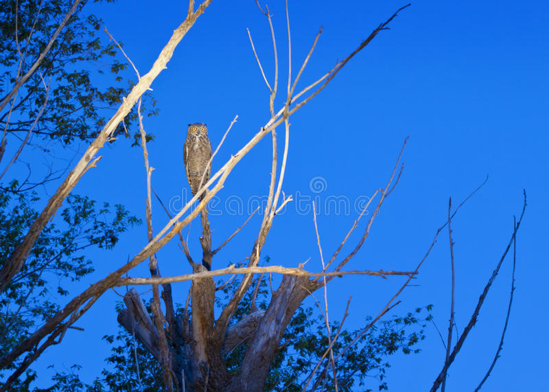 Download Great Horned Owl stock photo. Image of wildlife, perched - 25921916