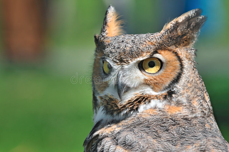 Download Great Horned Owl stock photo. Image of falconry, raptor - 5286240