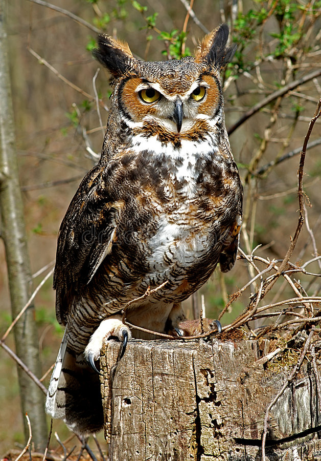 Great Horned Owl. Close up of Great Horned Owl on tree stump