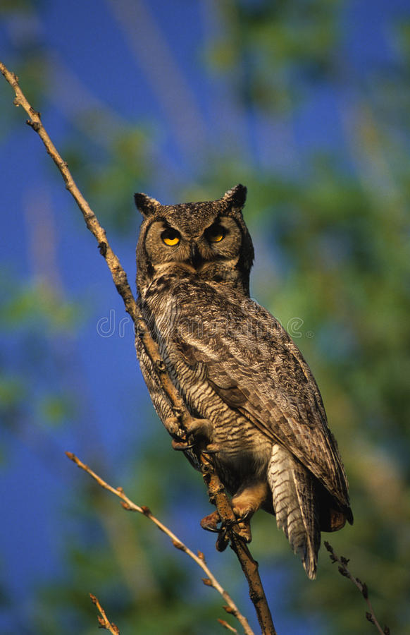 Download Great Horned Owl stock photo. Image of avian, raptor, nature - 9487734