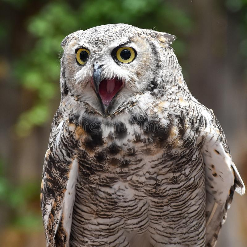 Great horned owl with beak open, screeching. This great horned owl wants your attention! Listen to her screech royalty free stock photos