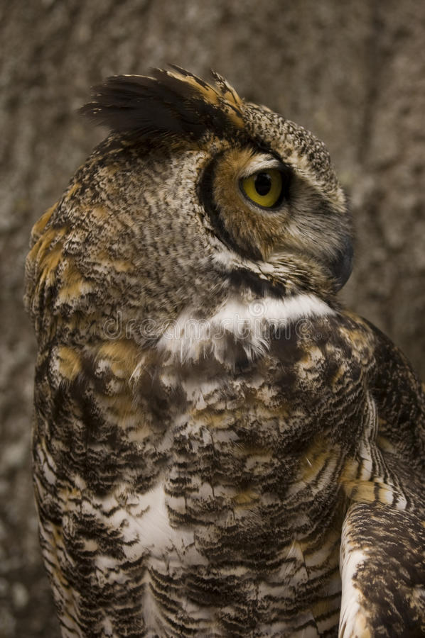 Great Horned Owl Bird of Prey stock photography
