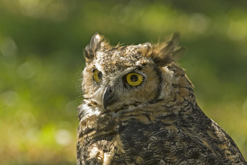 Download Great Horned Owl (bubo Virginianus) Stock Photo - Image: 11557318