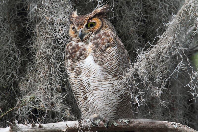 Download Great Horned Owl (Bubo Virginianus) Stock Image - Image: 15837421
