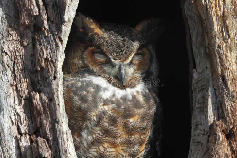 Great Horned Owl (Bubo virginianus). Sleeping in a hole in a tree stock images