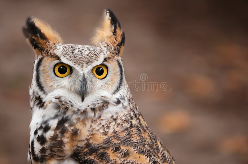 Great Horned Owl (Bubo virginianus). With copy space - captive bird stock image
