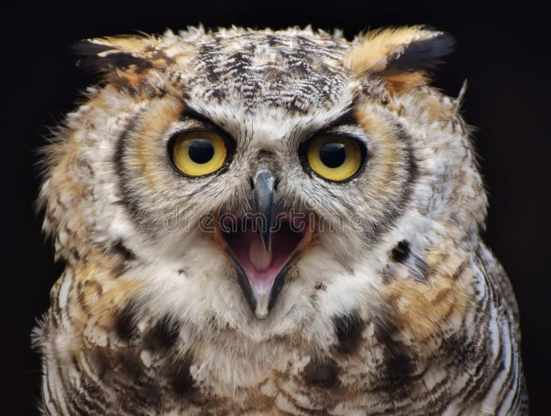 Great Horned Owl Bubo virginianus stock photo