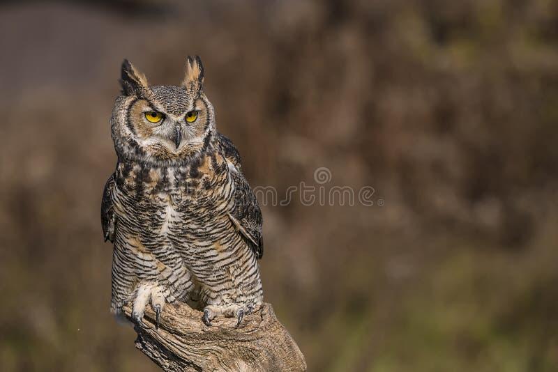 Great horned owl (Bubo virginianus) stock photos