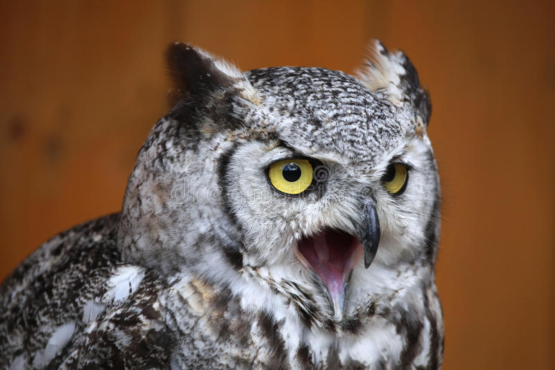 Great horned owl (Bubo virginianus). Great horned owl (Bubo virginianus), also known as the tiger owl. Wild life animal stock photo
