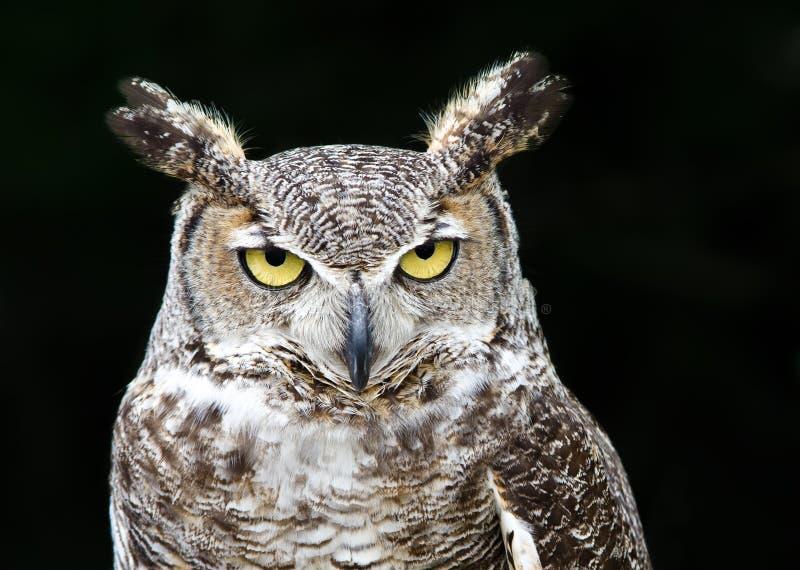 Great Horned Owl (Bubo virginianus). Portrait of Great Horned Owl (Bubo virginianus), aka Tiger Owl, on dark background royalty free stock photo