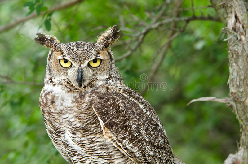Great Horned Owl (Bubo virginianus). Portrait of Great Horned Owl (Bubo virginianus), aka Tiger Owl, trees on the background royalty free stock images
