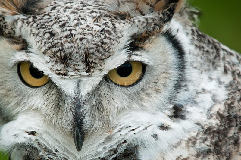 Great Horned Owl (Bubo virginianus) Stare. Captive bird - copy space right royalty free stock photography