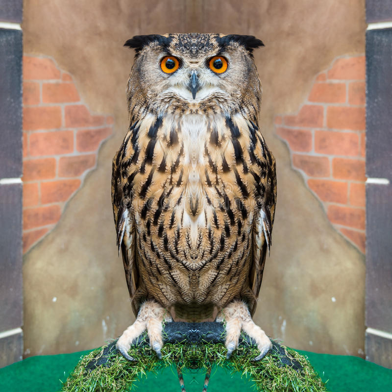 Great Horned Owl or Bubo Virginianus Subarcticus.  stock photo