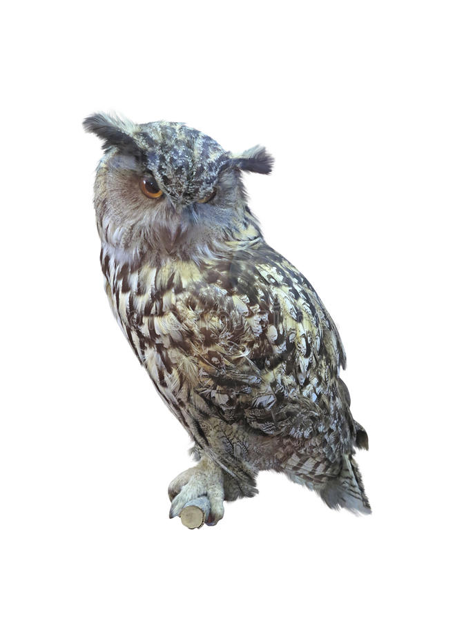 Great Horned Owl, Bubo Virginianus Subarcticus, Isolated Over Wh Stock Image