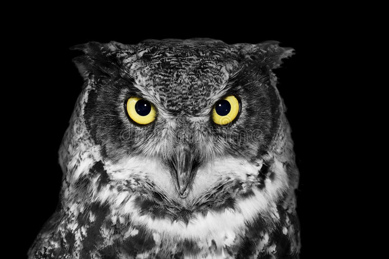 Great Horned owl in BW royalty free stock images