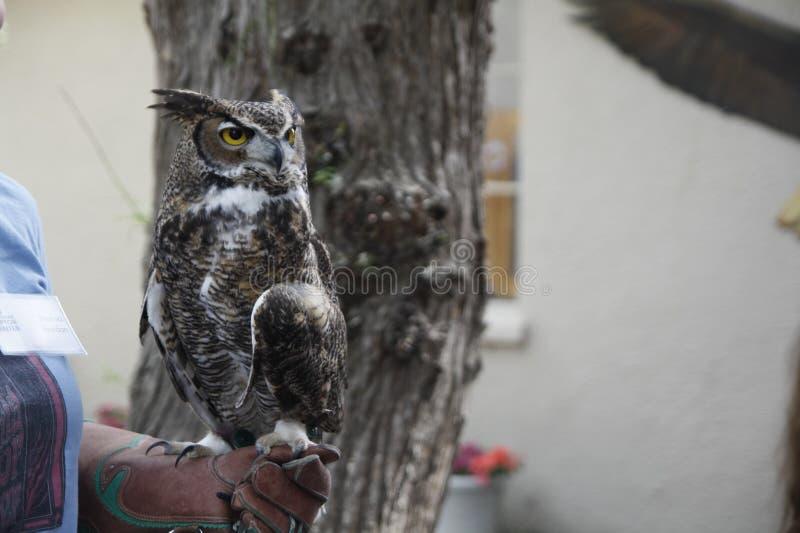 Great horned owl in California Raptor Center stock images