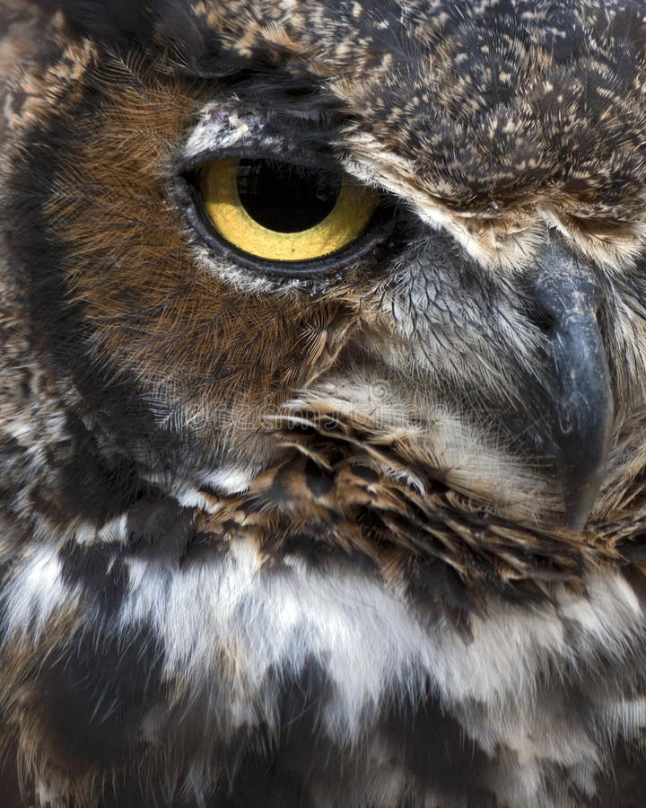 Download Great horned owl eye stock photo. Image of wing, nocturnal - 16670988