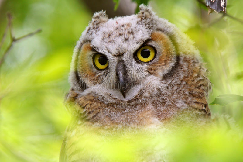 Download Great Horned Owl fledgling stock image. Image of perched - 15067041