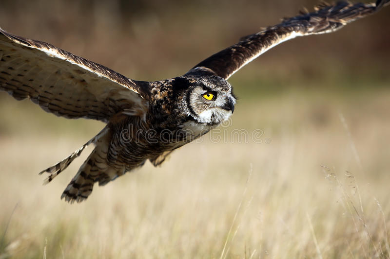Great Horned Owl In Flight royalty free stock image