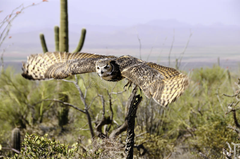 Download Great Horned Owl In Flight Showing Wing Motion Stock Image - Image: 19512573