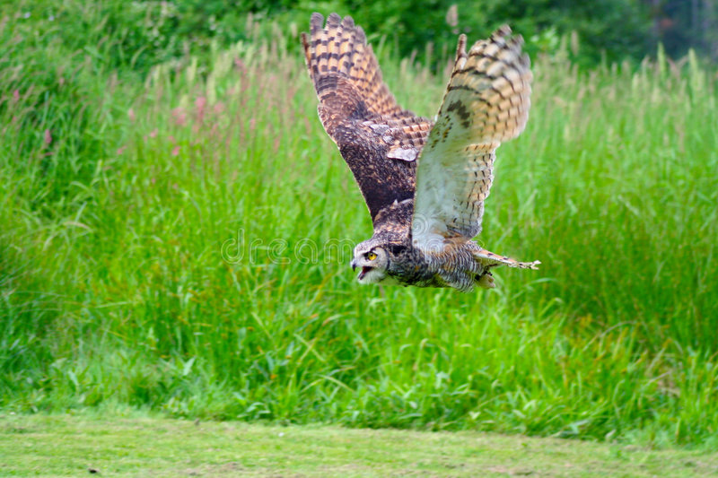 Great Horned Owl Flying royalty free stock photos