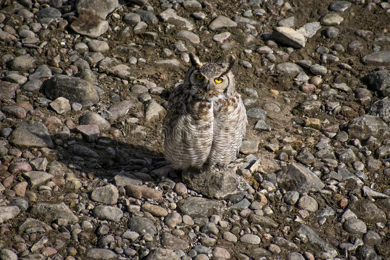 Great Horned Owl on Gravel Bar. Image shows a Great Horned Owl sitting upon a gravel bar of the Arkansas River near Pueblo Colorado. Watched him hunt for almost stock photos