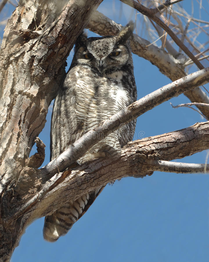 Free Great Horned Owl In A Tree Royalty Free Stock Photography - 18958337