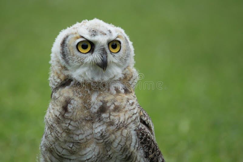 Great horned owl juvenile