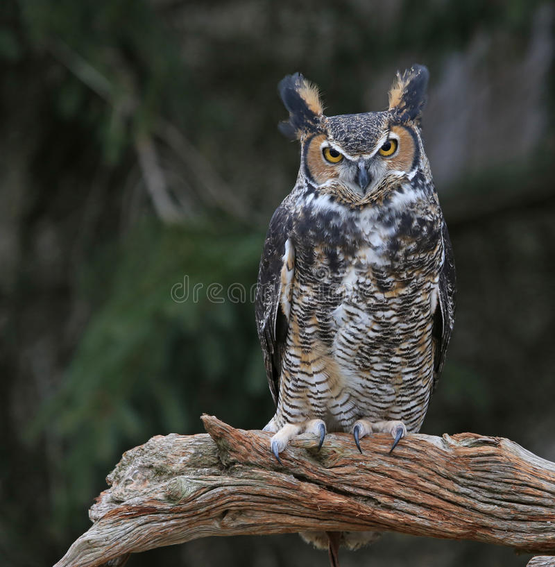 Free Great Horned Owl On A Branch Stock Image - 91127191