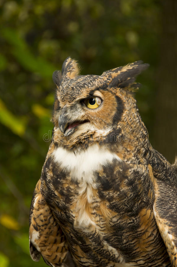 Download Great Horned Owl stock photo. Image of mouth, brown, beak - 34762448