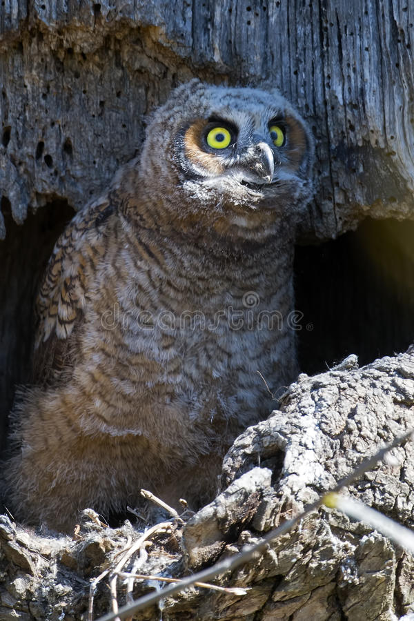 A Great Horned Owl Owlet Close up stock photography