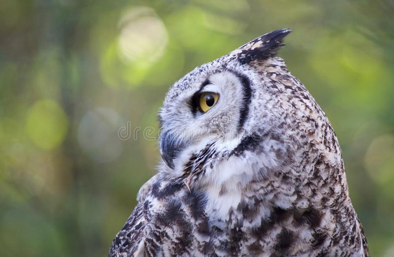 Great horned owl perched in a tree shows off her beautiful plumage. And clear yellow eyes royalty free stock photography