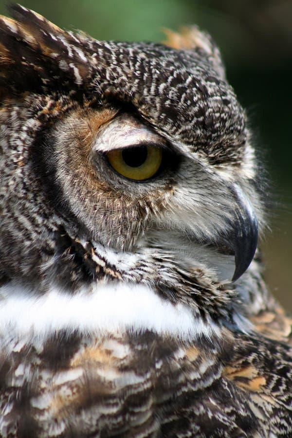 Download Great Horned Owl portrait stock image. Image of strigiformes - 5829505