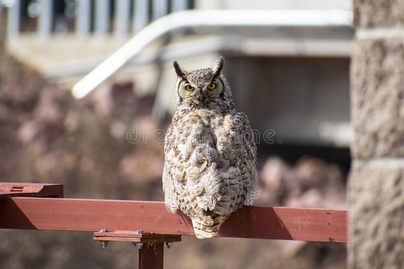 Great Horned Owl on Railing royalty free stock image
