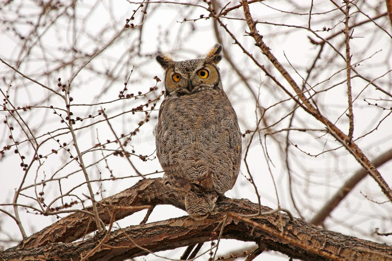 Great Horned Owl sitting on a tree in Nevada stock photos