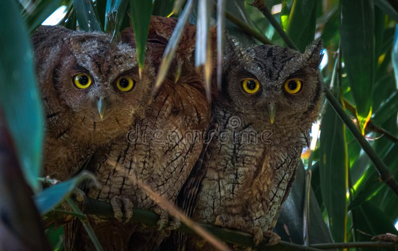 Great horned owl on a tree stock photo