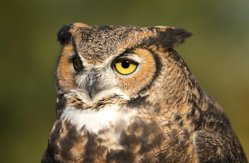 Great Horned Owl on a Tree stock photos