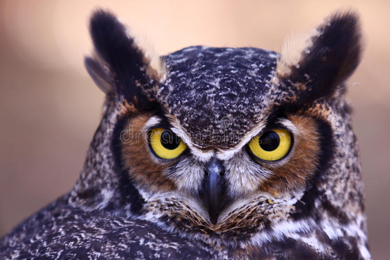 Great Horned Owl - Watchful Eyes royalty free stock photo