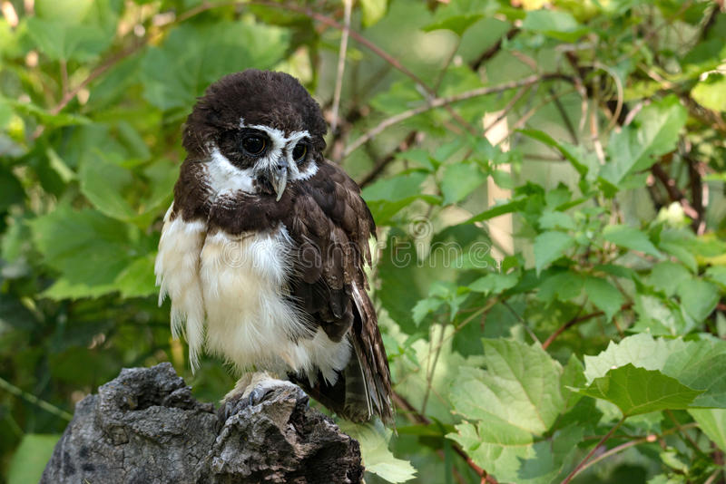 Spectacled owl with large black eyes Spectacled owl is a rare endangered owl from South America stock images