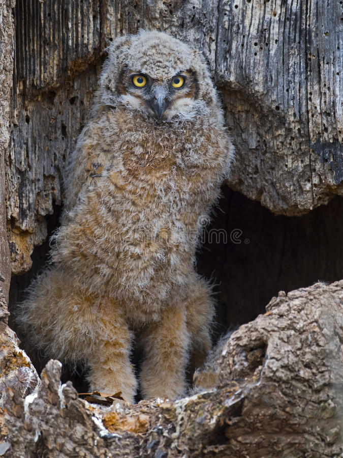 A Great Horned Owlet standing in Nest stock image