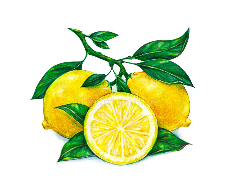 Great illustration of beautiful yellow lemon fruits on white background. Watercolor drawing of lemon royalty free illustration