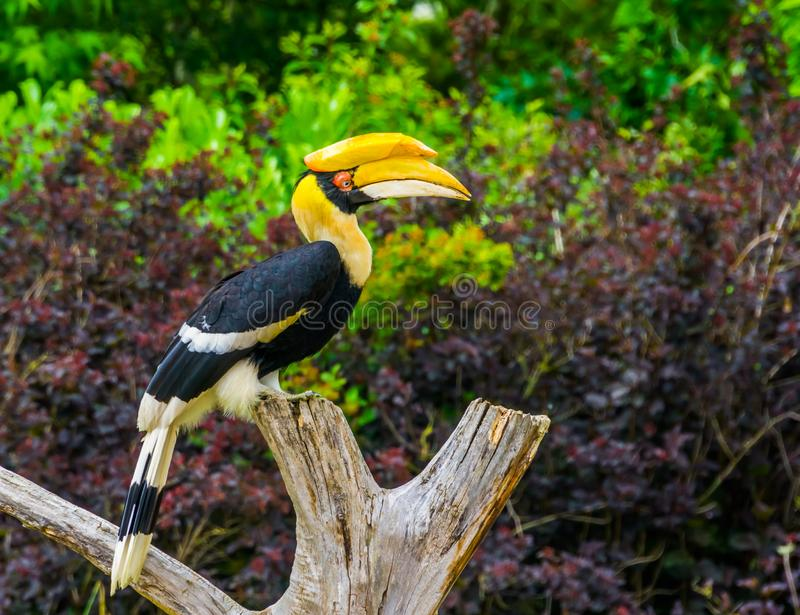Great indian hornbill bird sitting on a tree top, tropical and vulnerable animal specie from Asia. A Great indian hornbill bird sitting on a tree top, tropical stock photos