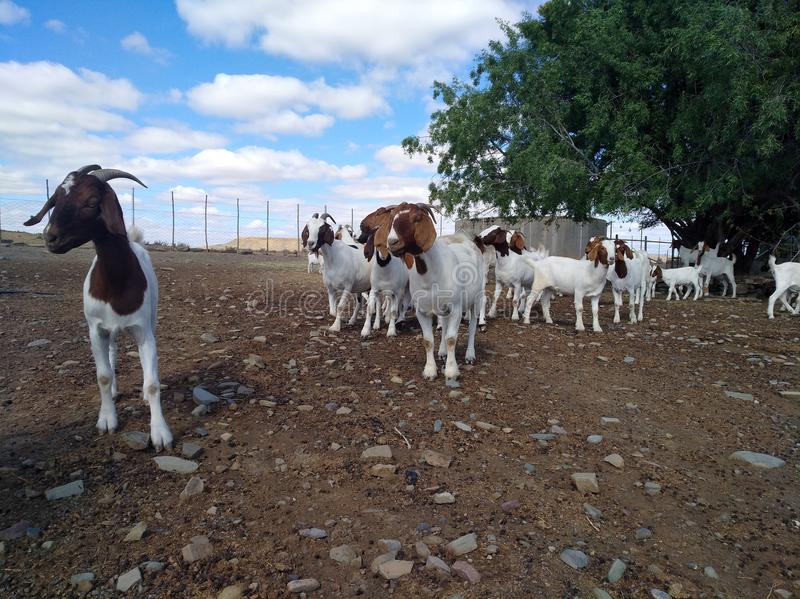 Great karoo boer goats. Boer goats young and old royalty free stock photography