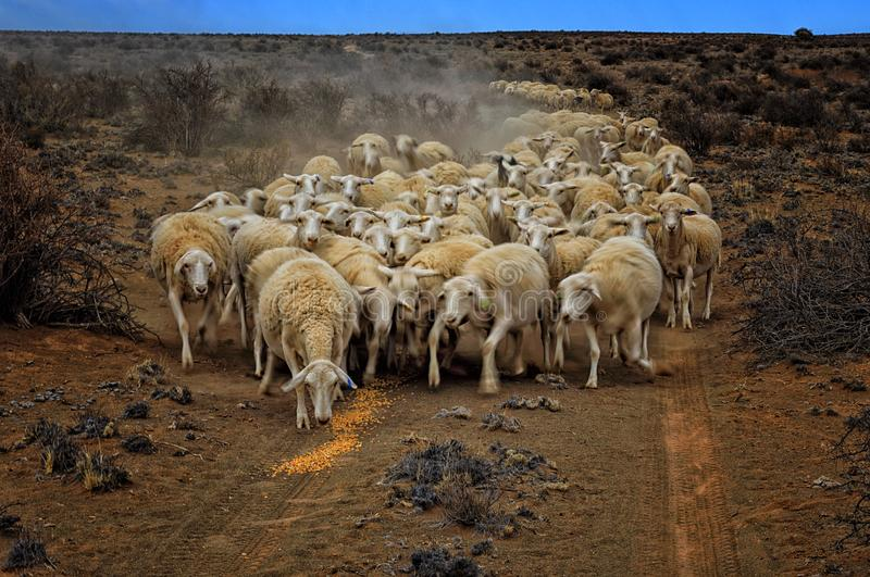 Storming hungry sheep. The Great Karoo in South Africa is now for 4 years in the grip of a terrible drought. On this picture a farmer in the district of stock image