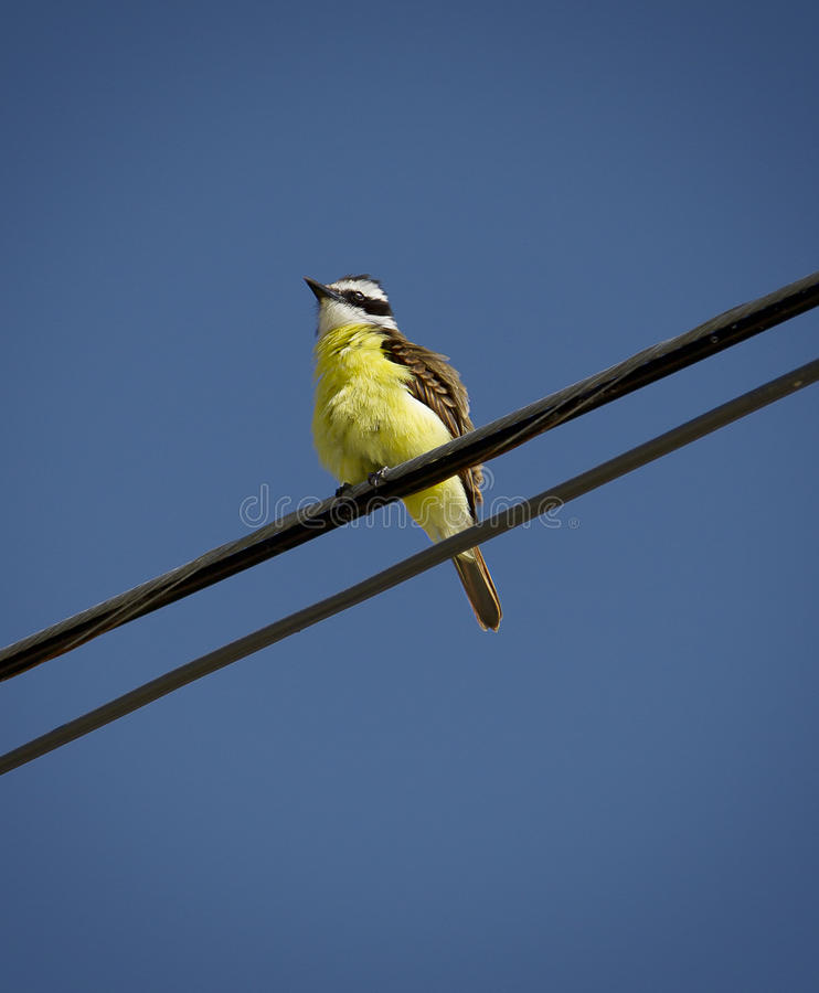Download Great Kiskadee stock photo. Image of wildlife, bird, tropical - 25514532