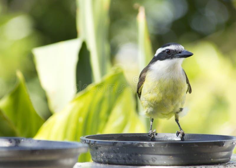 Download Great Kiskadee stock image. Image of bird, birdwatching - 25863949