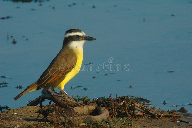 Download Great Kiskadee Stock Photos - Image: 583333