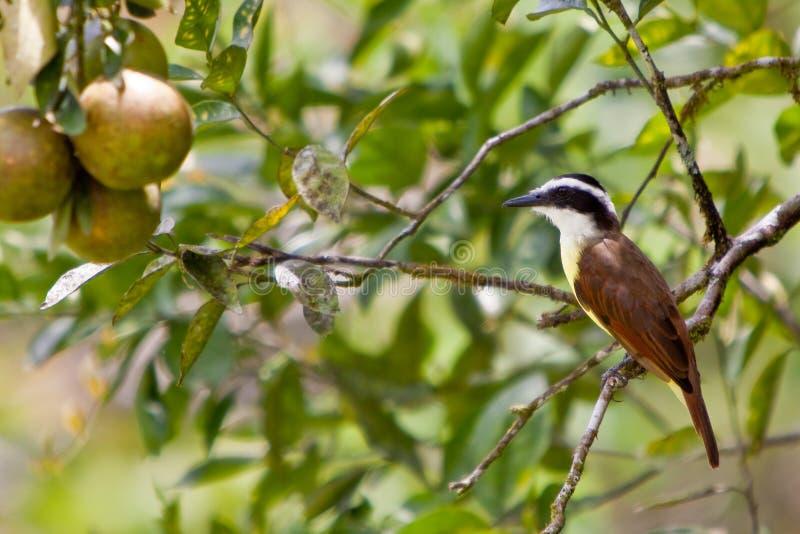 Great kiskadee bird sitting on a branch stock photography