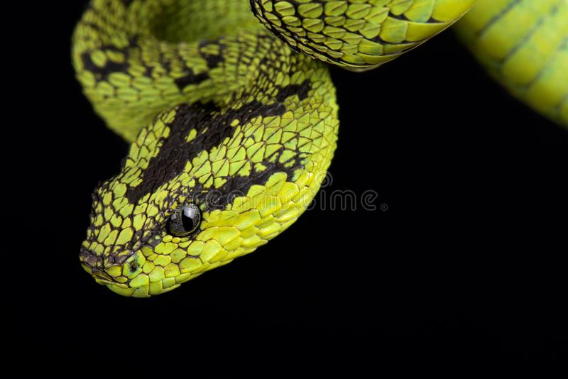 Great Lakes bush viper Atheris nitschei. The Great Lakes bush viper Atheris nitschei is a venomous viper species found in Central Africa royalty free stock photography
